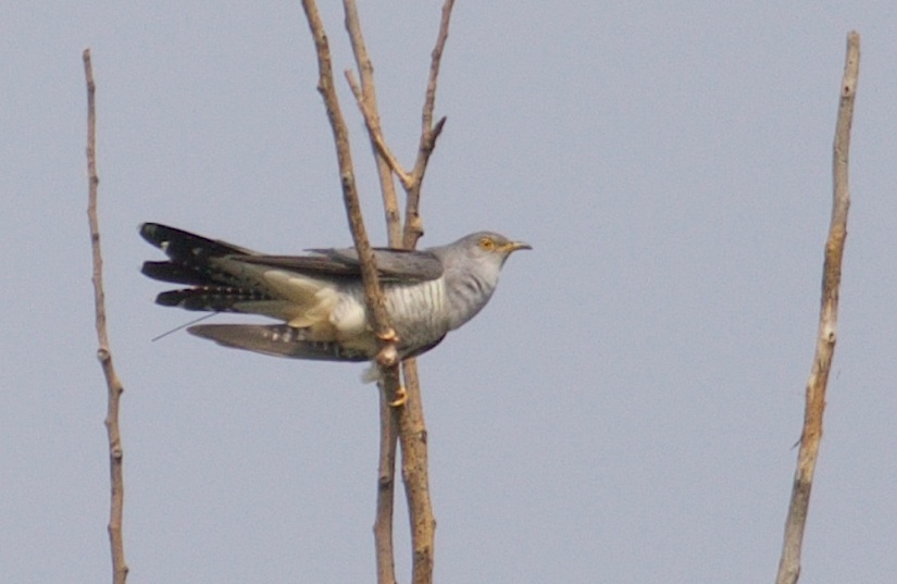 12 Months And Almost 27,000km Later, The First Beijing Cuckoo Is Back!
