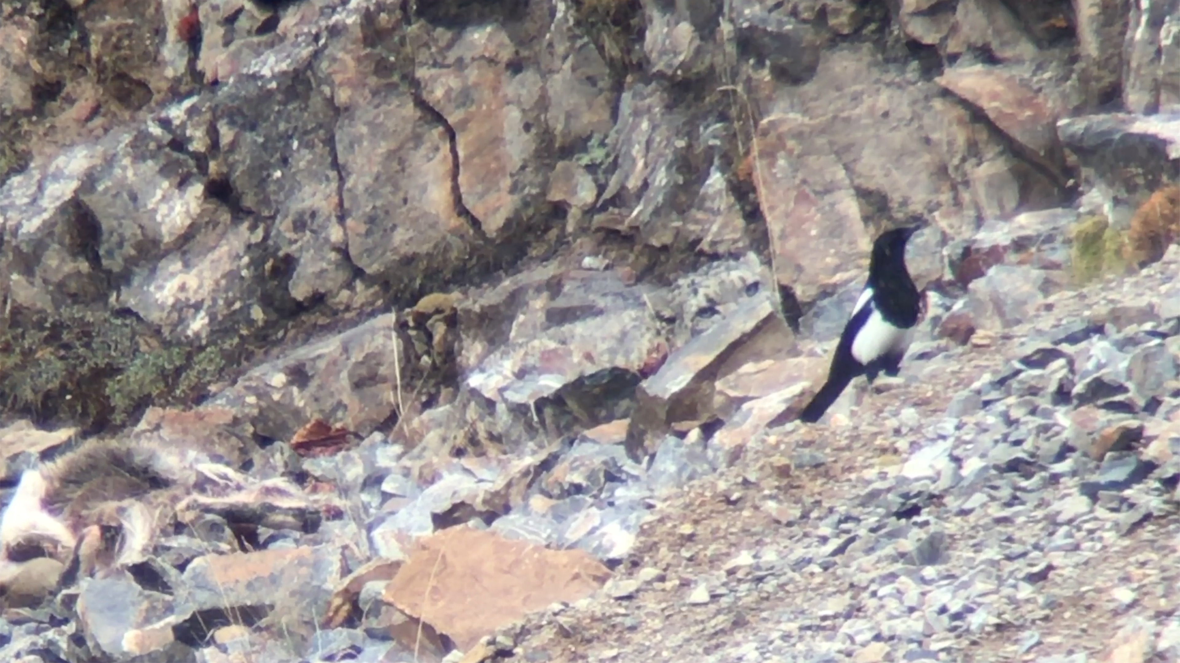 Snow Leopard eyeing magpie