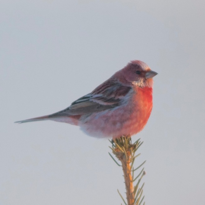 pallas's rosefinch square
