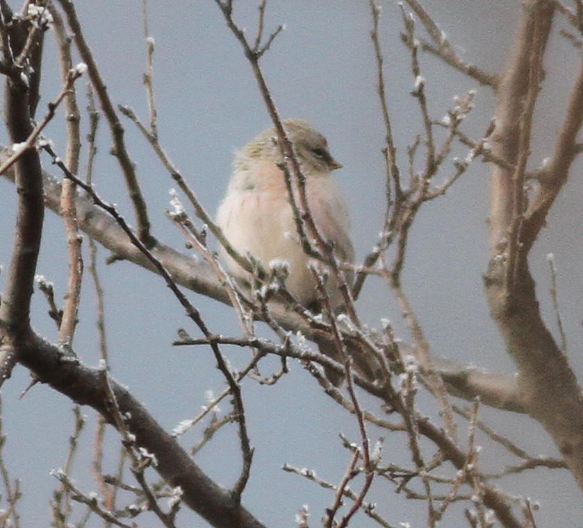 2018-01-21 Arctic Redpoll, Miaofengshan (Colm)