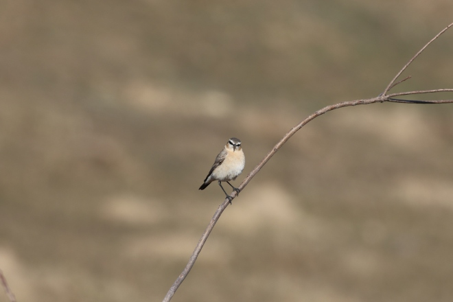 2018-04-08 Isabelline Wheatear, Shisanling (CM)