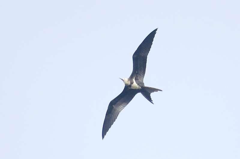 2018-05-01 Lesser Frigatebird, Yeyahu (Pan Wenxin)