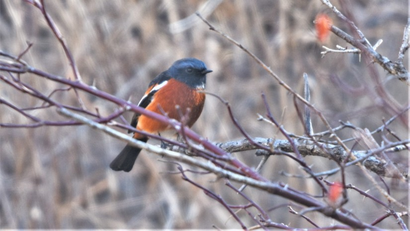 White-throated Redstart at Lingshan