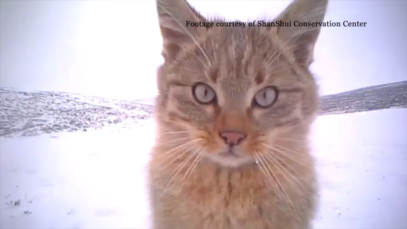 The Chinese Mountain Cats are Growing Up!