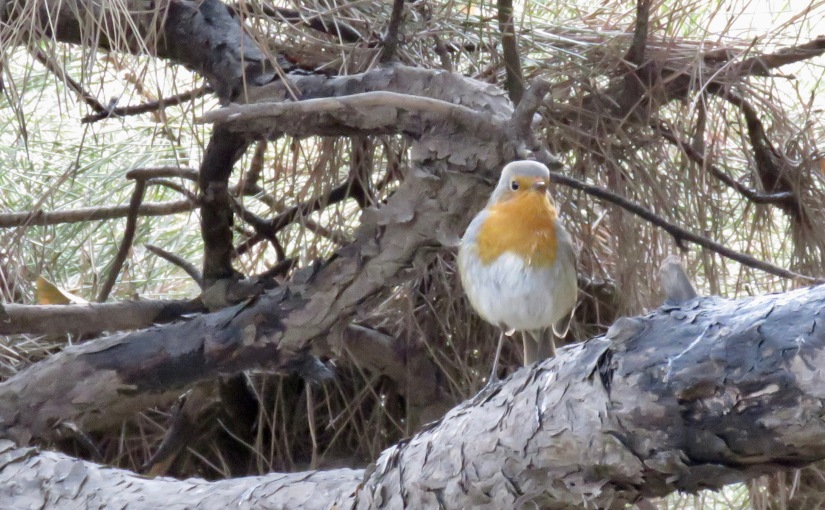 'Brexit refugee' European Robin given warm reception in Beijing