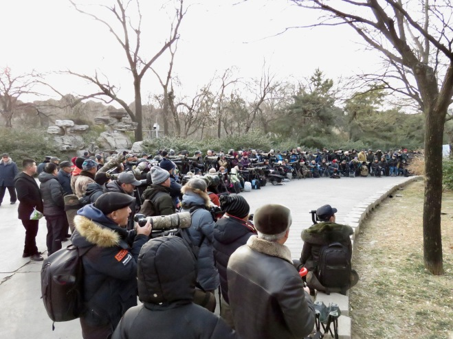 2019-01-11 Robin twitch, Beijing Zoo 2