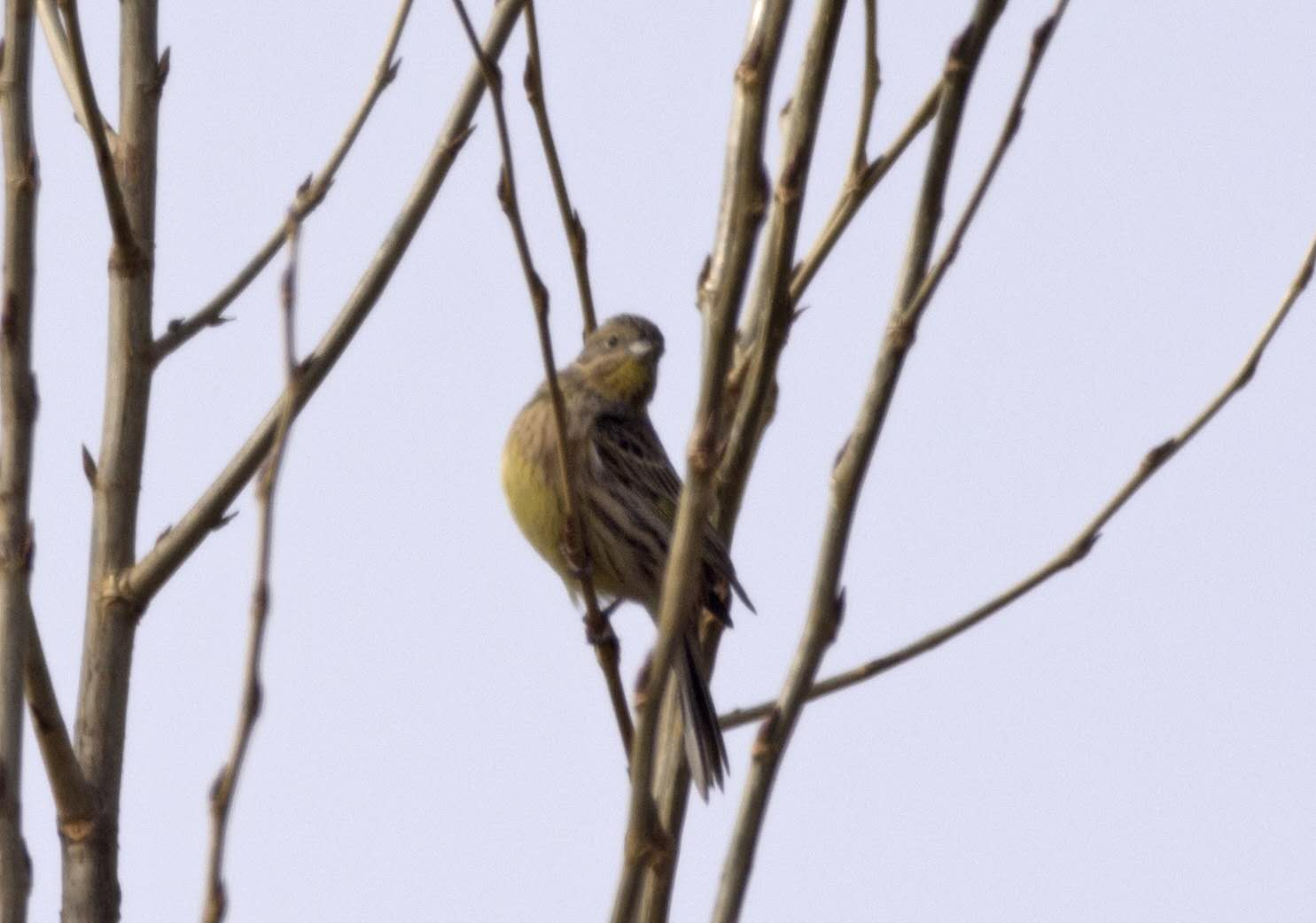 2019-02-06 Yellowhammer, Yanqing (ML)