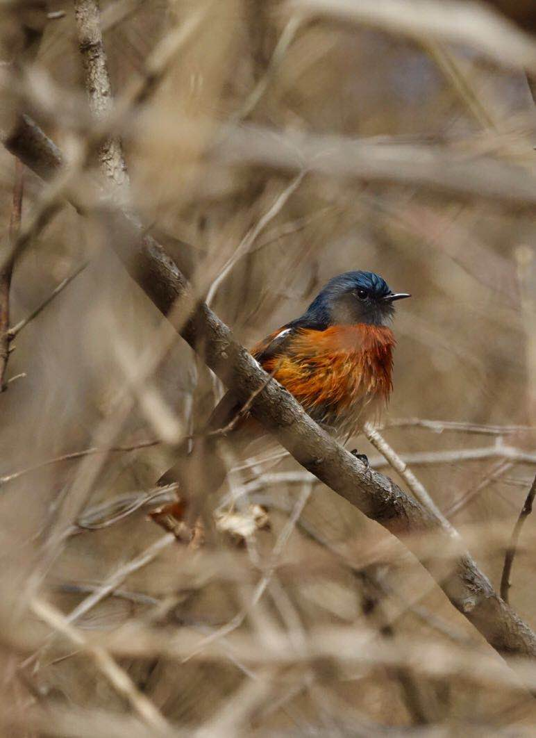2019-02-24 White-throated Redstart, Botanical Gardens (Jiang Wenyue)