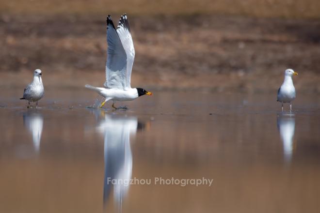2019-03-13 Pallas's Gull, Shahe (Lou Fangzhou)