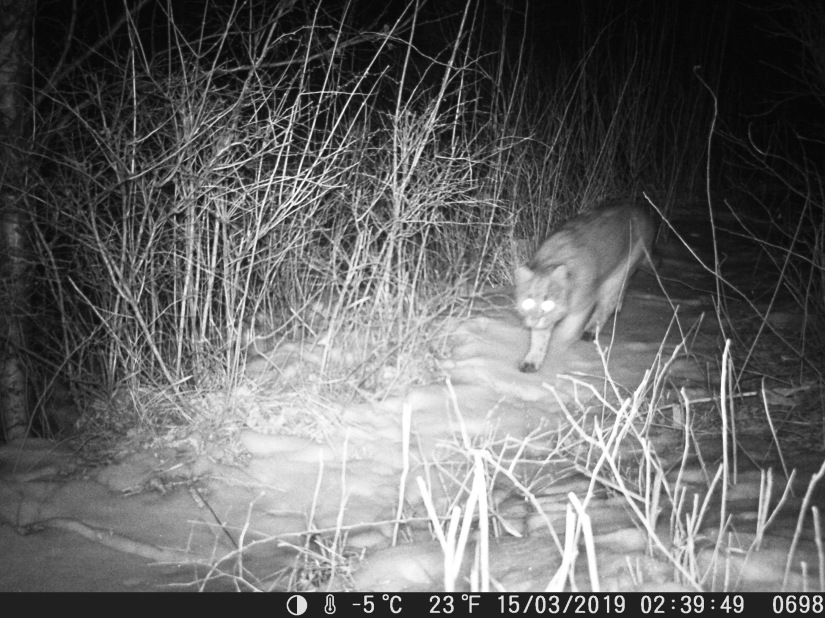 Amur Leopard Cat inBeijing