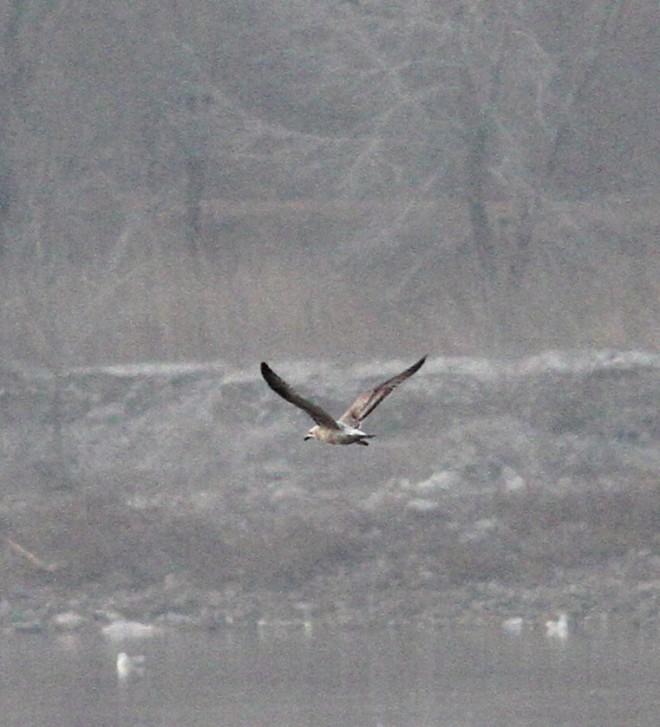 2019-03-18 Siberian Gull 2cy, Shahe (CM)