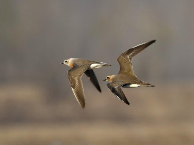 Latest Bird News from Beijing – Birding Beijing 北京观鸟